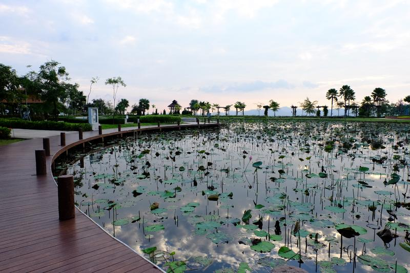 Landscaps of lotus flowers in summer, blue sky background at Thailand. royalty free stock image