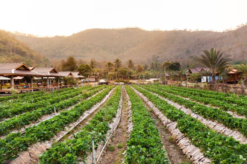 Landschaft der frischen Erdbeere trägt Bauernhof und Reihe der Erdbeere Früchte lizenzfreie stockbilder