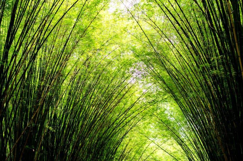 Landschaft des Bambusbaums im tropischen Regenwald lizenzfreie stockfotos