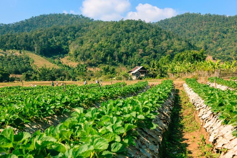 Landschaft des organischen Feldes der Landwirtschaft lizenzfreies stockbild