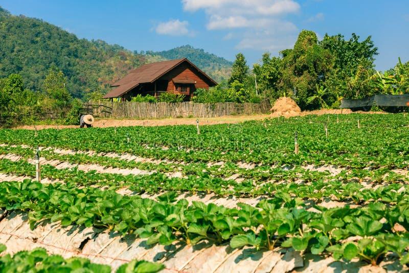 Landschaft des organischen Feldes der Landwirtschaft stockfotos