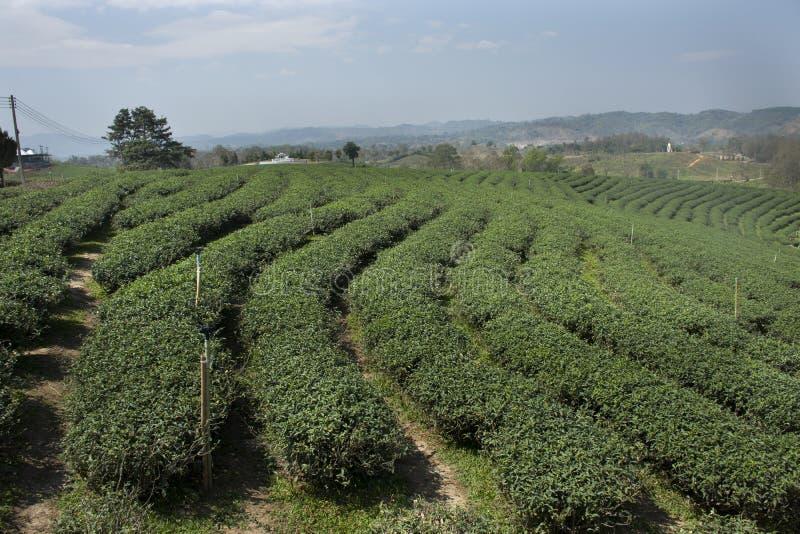 Landschaft des Plantagenbereichs Choui Fong Tea von über 1.000 rais in hohem Berg Doi Mae Salong in Maechan von Chiang Rai, Thail stockfotos