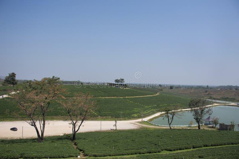Landschaft des Plantagenbereichs Choui Fong Tea von über 1.000 rais in hohem Berg Doi Mae Salong in Maechan von Chiang Rai, Thail lizenzfreie stockbilder