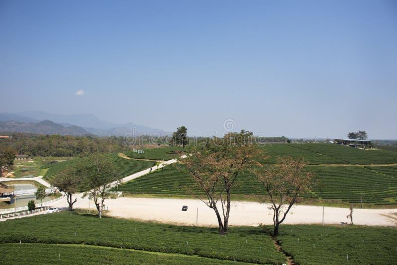 Landschaft des Plantagenbereichs Choui Fong Tea von über 1.000 rais in hohem Berg Doi Mae Salong in Maechan von Chiang Rai, Thail stockfotografie