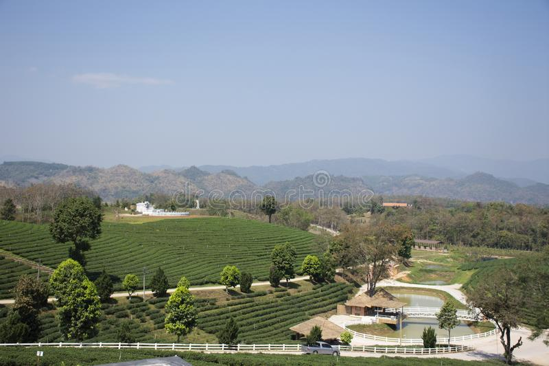Landschaft des Plantagenbereichs Choui Fong Tea von über 1.000 rais in hohem Berg Doi Mae Salong in Maechan von Chiang Rai, Thail lizenzfreie stockfotos