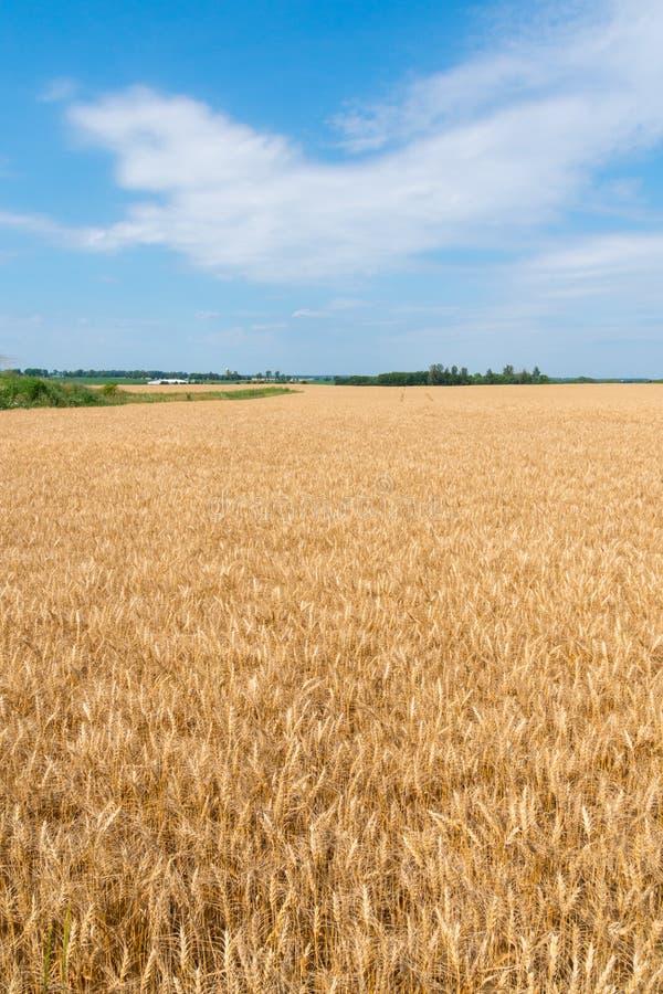 Landschaft des reifen Getreidefelds mit blauem Himmel und des whitespace für tex stockbilder