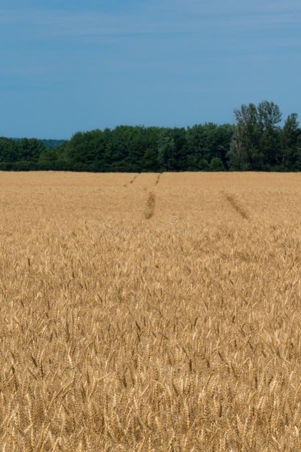 Landschaft des reifen Getreidefelds mit blauem Himmel und des whitespace für tex stockfotografie