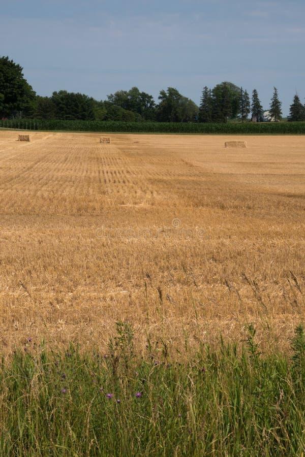 Landschaft des reifen Getreidefelds mit blauem Himmel und des whitespace für tex lizenzfreie stockbilder