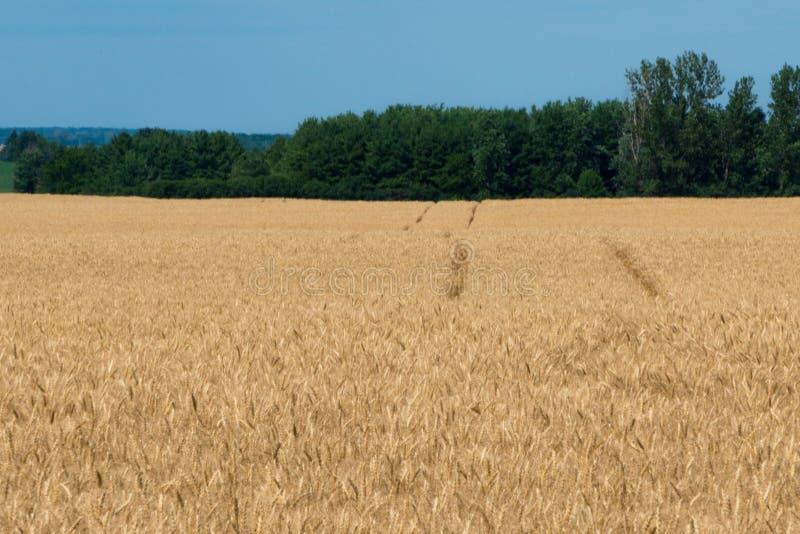 Landschaft des reifen Getreidefelds mit blauem Himmel und des whitespace für tex stockbild