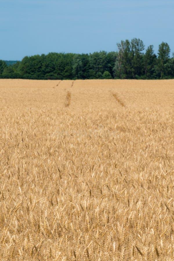 Landschaft des reifen Getreidefelds mit blauem Himmel und des whitespace für tex stockfotos