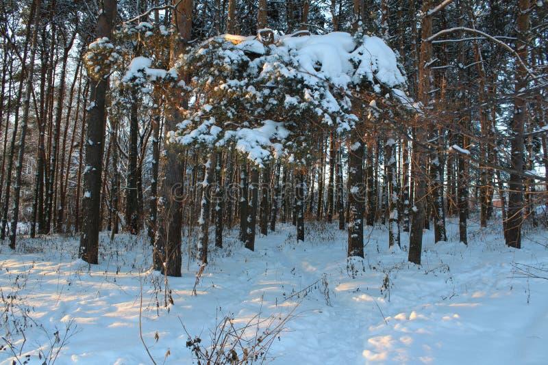 Landschaft des schneebedeckten Waldes des Winters stockfotografie