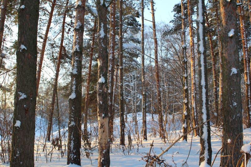 Landschaft des schneebedeckten Waldes des Winters stockfotos
