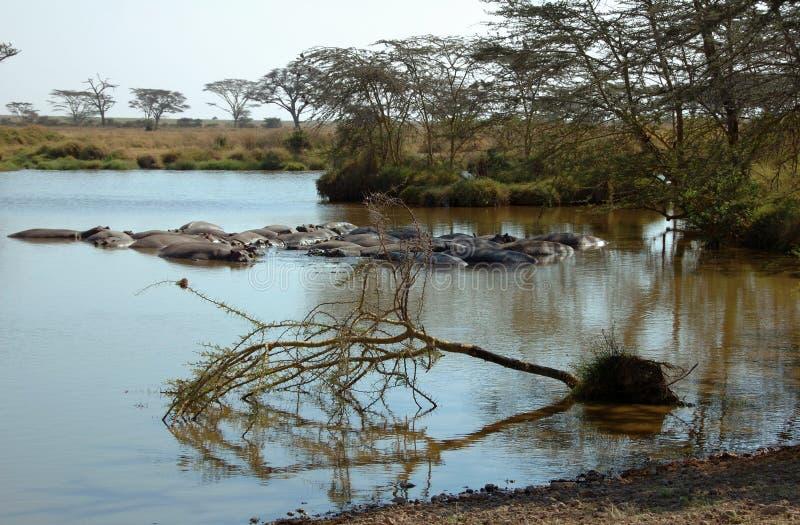 Landschaft des Serengeti mit Flusspferden lizenzfreie stockfotografie