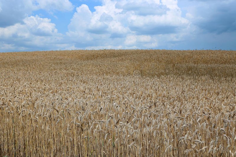 Landschaft des Weizenfeldes stockbilder