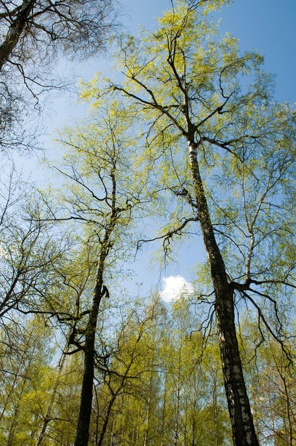 Landschaft mit Birken lizenzfreie stockbilder
