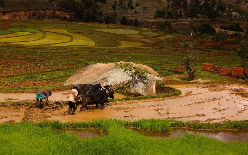Landschaft mit den pflügenden Landwirten und dem Zebu an den Reisfeldern und dem Onive-Fluss bei Antanifotsy, Madagaskar stockfotos