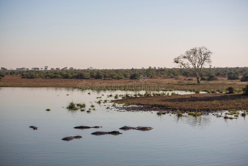 Landschaft mit Flusspferden im Wasser stockfotografie