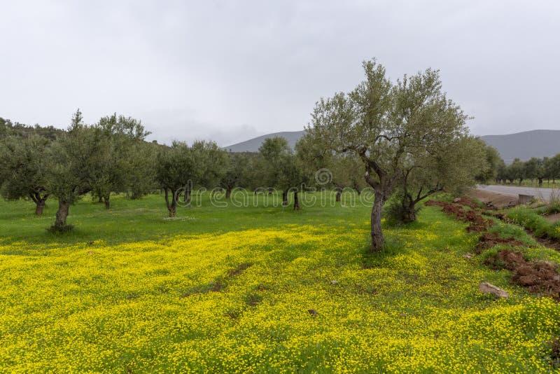 Landschaft mit Jahreszeit der Olivenbaumwaldung im Frühjahr mit bunter Blüte von wilden gelben Blumen lizenzfreie stockbilder