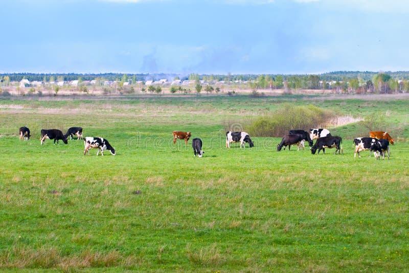 Landschaft mit Kühen lizenzfreie stockfotos