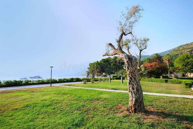 landschaft mit olivenbaum stockbild bild von allee europ isch 24492317. Black Bedroom Furniture Sets. Home Design Ideas