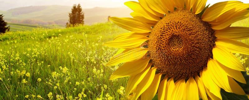 Landschaft mit Sonnenblumen in Toskana, stockbilder