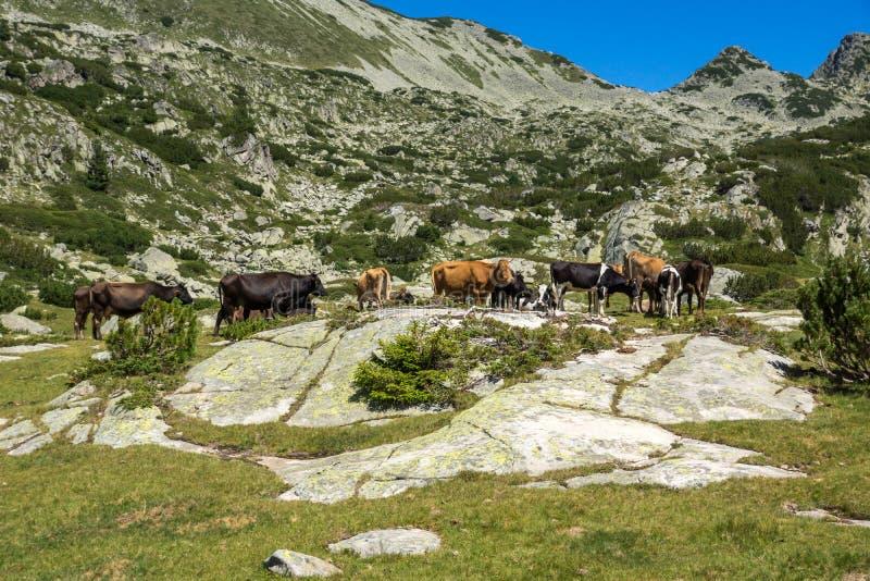 Landschaft mit Spitze und K?hen Dzhangal auf gr?nen Wiesen, Pirin-Berg, Bulgarien stockfoto