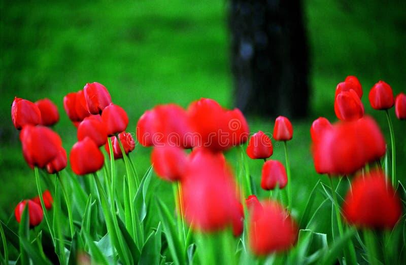 Landschaft mit Tulpen lizenzfreie stockfotografie