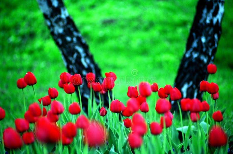 Landschaft mit Tulpen stockfotografie
