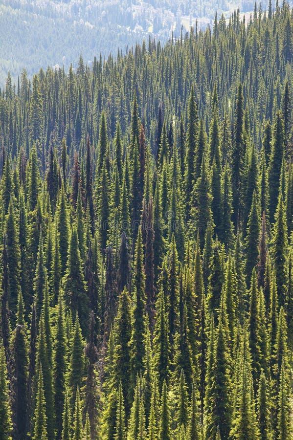 Landschaft mit Wald in Bristish Kolumbien Berg Revelstoke Ca lizenzfreie stockfotografie