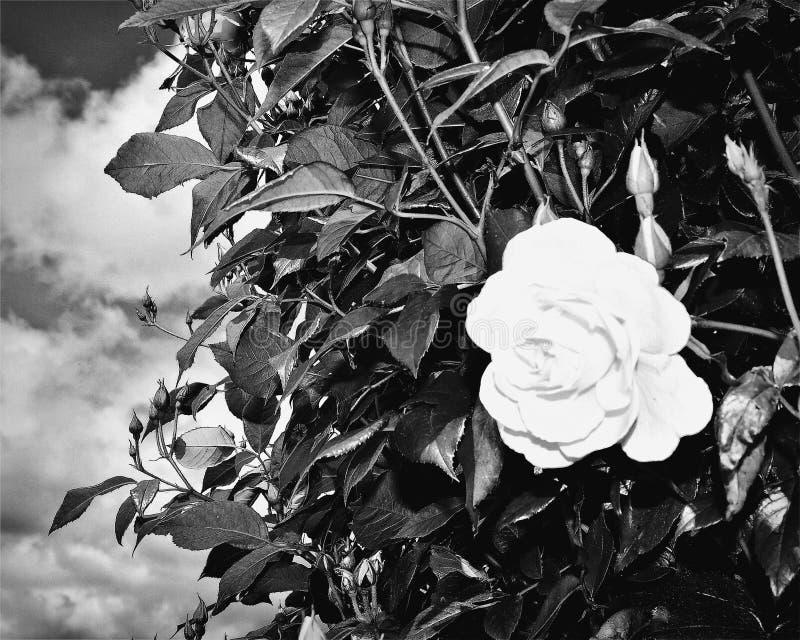 Landschaft und Rosen in Italien stockfotografie