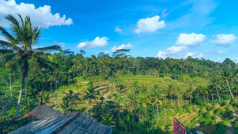 Landschaft von berühmten Reisterrassen nahe Ubud in Bali stockbilder