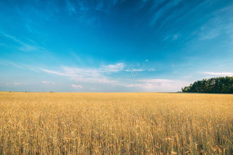 Landschaft von jungen Sommer-Gelb-Sprösslingen des Weizens auf dem Gebiet darunter lizenzfreie stockfotografie