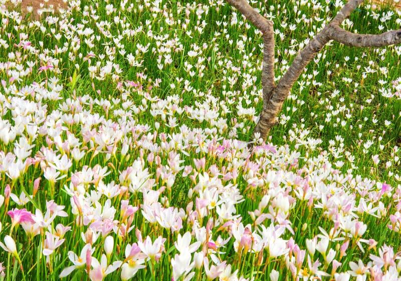 Landschaften der purpurroten Verbeneblume in Montag stauen stockfotografie