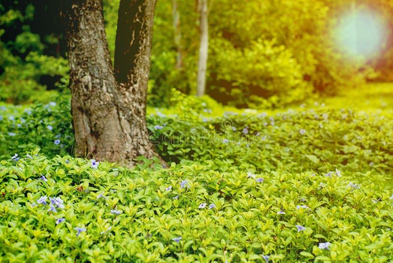 Landschaftsfeld weniger purpurroter Blütenblumen und grünen Busches Boden im im Freien mit unscharfem altem Baum im Hintergrund lizenzfreie stockbilder