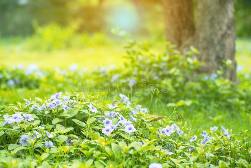 Landschaftsfeld weniger purpurroter Blütenblumen und grünen Busches Boden im im Freien mit unscharfem altem Baum im Hintergrund stockbild