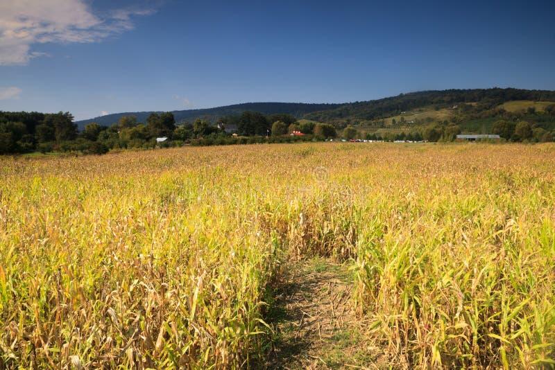 Landschaftsmais-Feld landwirtschaftliches Virginia lizenzfreie stockbilder