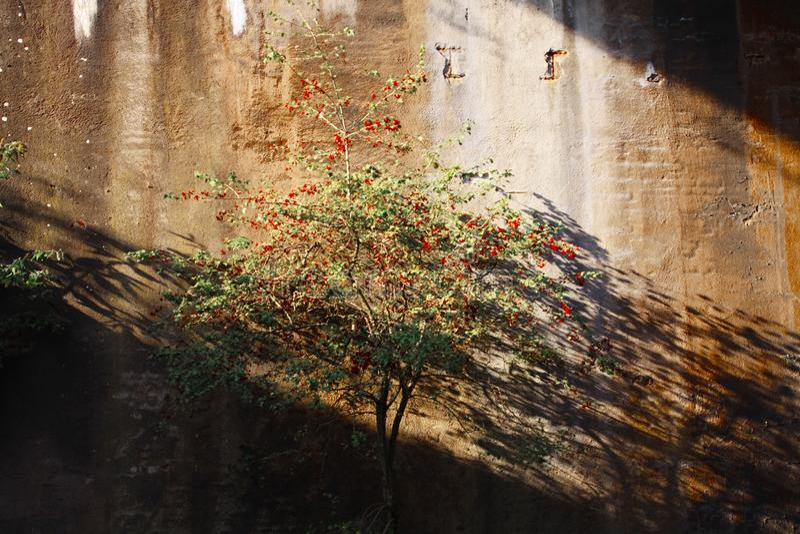 Landschaftspark Duisburg, Tyskland: Isolerat träd med röda bär, i övergett skina för tunnel som är ljust i solljus, och att gjuta arkivbild