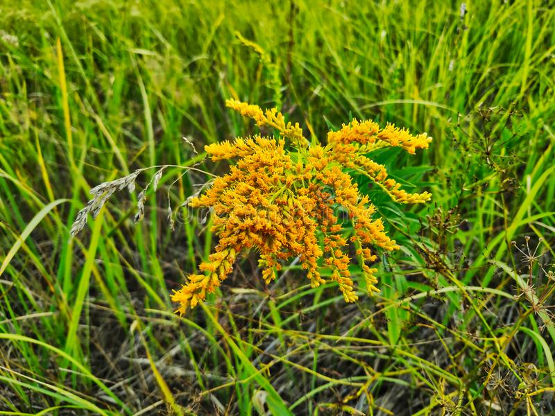 Landschaftsphotographie des Goldrutenkanadiers auf einem Hintergrund des grünen und trockenen Grases lizenzfreies stockbild