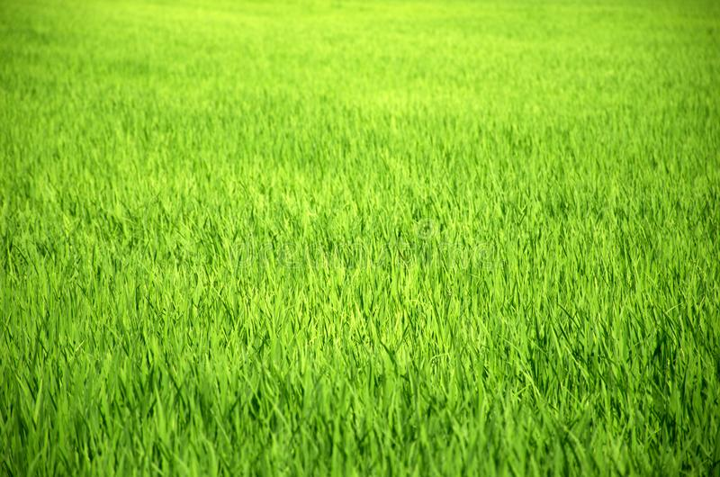 Landschaftssind grüne Reisfelder schön stockfoto