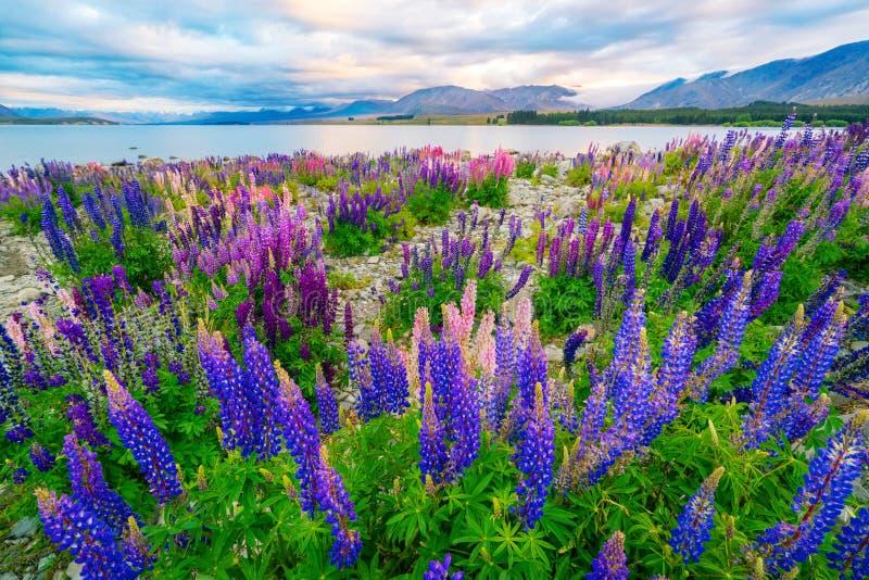 Landschap bij de Lupinegebied van Meertekapo in Nieuw Zeeland royalty-vrije stock foto