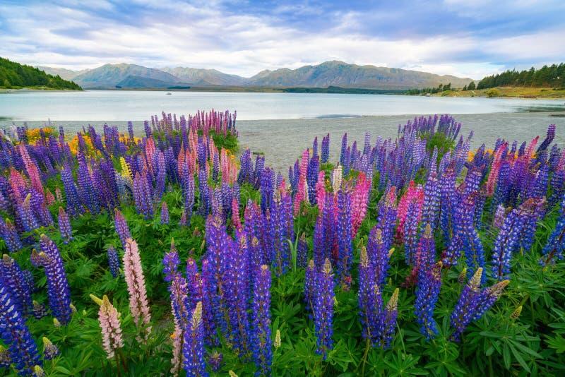Landschap bij de Lupinegebied van Meertekapo in Nieuw Zeeland stock afbeeldingen