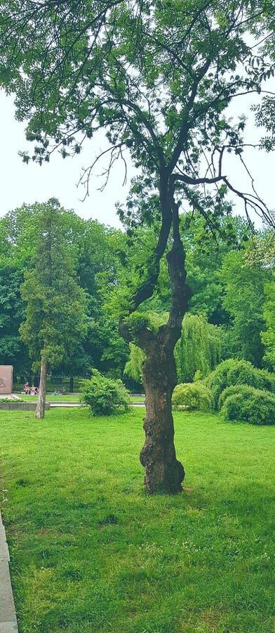 Landschap De boom is origenal Één dikke boomstam bij de wortels van de installatie, die in twee boomstammen hoger aan boomcro ver royalty-vrije stock foto's