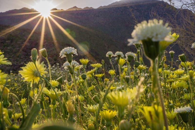 Landschap in het Park van de de Woestijnstaat van Anza Borrego tijdens een de lente super bloei, Californië stock afbeeldingen