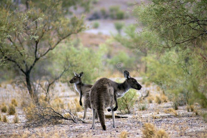 Landschap langs de Toneelaandrijving van Moralana, de Waaiers van Flinders, SA, Australië royalty-vrije stock afbeelding