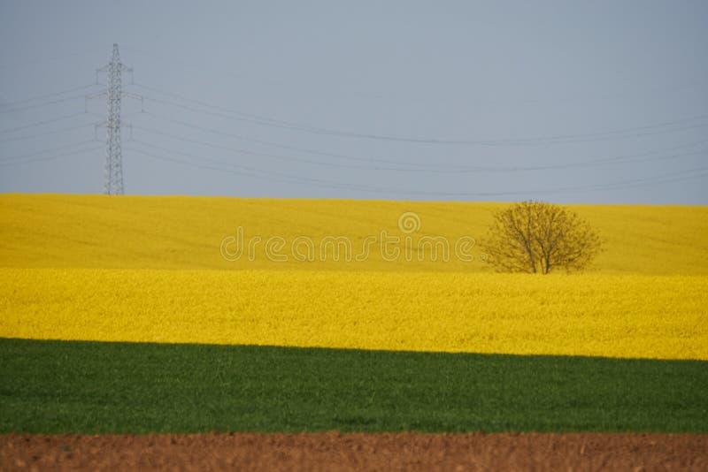 Landschap met canolagebied en een eenzame boom op de achtergrond stock fotografie