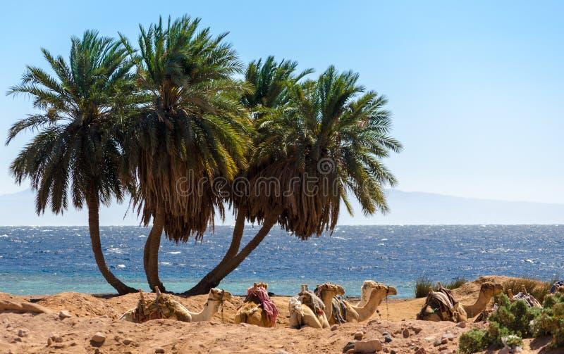 Landschap met caravan het liggen kamelen in van Zuid- Egypte Dahab Sinai stock foto
