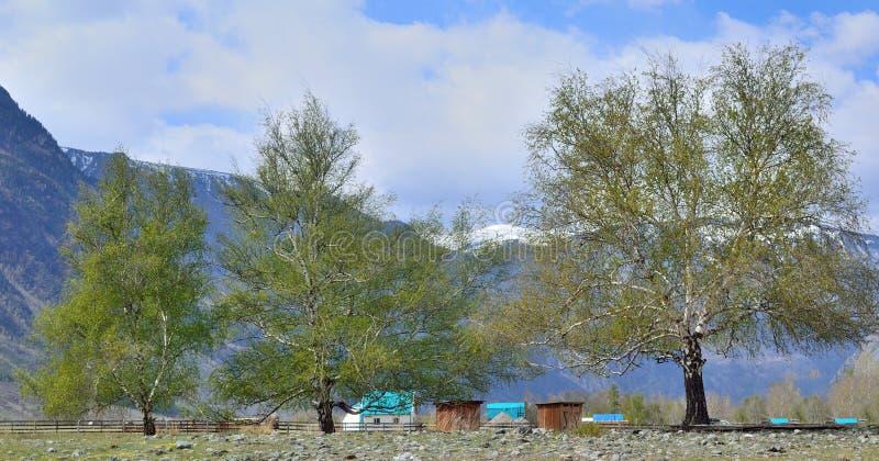 Landschap met drie berken bij de voet bergen stock afbeelding