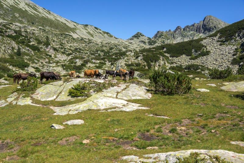 Landschap met Dzhangal-Piek en koeien op groene weiden, Pirin-Berg, Bulgarije royalty-vrije stock foto