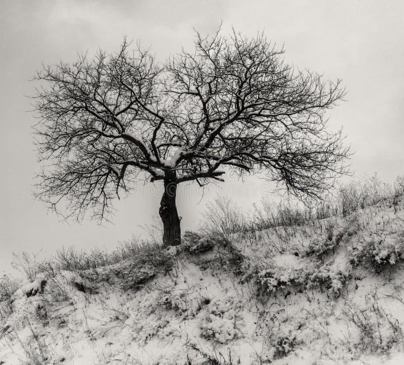 Landschap met eenzame abrikozenboom op een heuvel bewolkte hemel in de wintertijd stock afbeeldingen