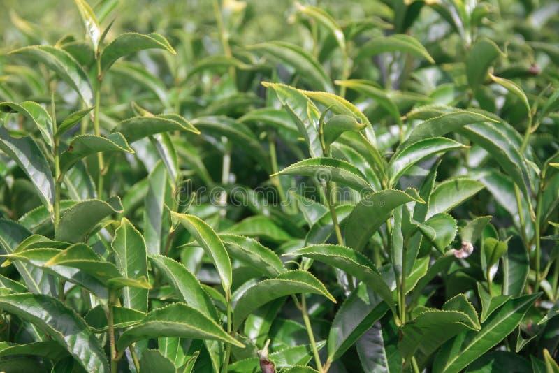 Landschap met groene gebieden van thee in Ooty stock foto's